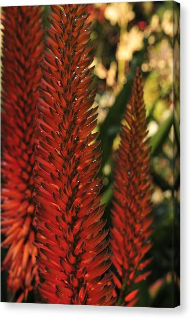 Torch Lily Canvas Print