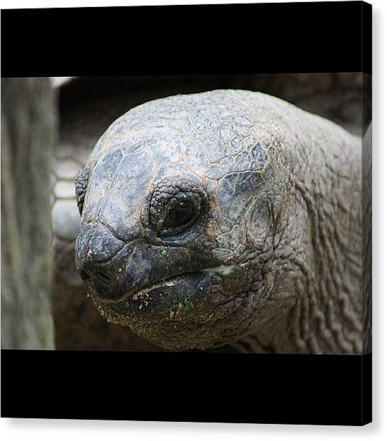 Tortoises Canvas Print - Tortoise At Singapore Zoo by Craig Finney