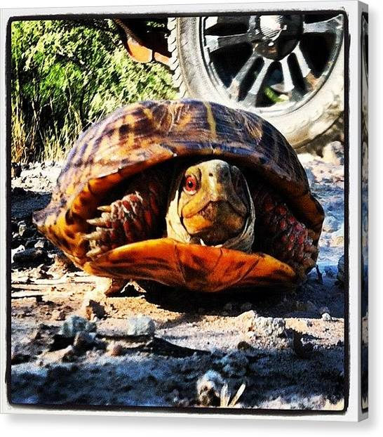 Tortoises Canvas Print - #tortoise #desert #texas #animal by J Z