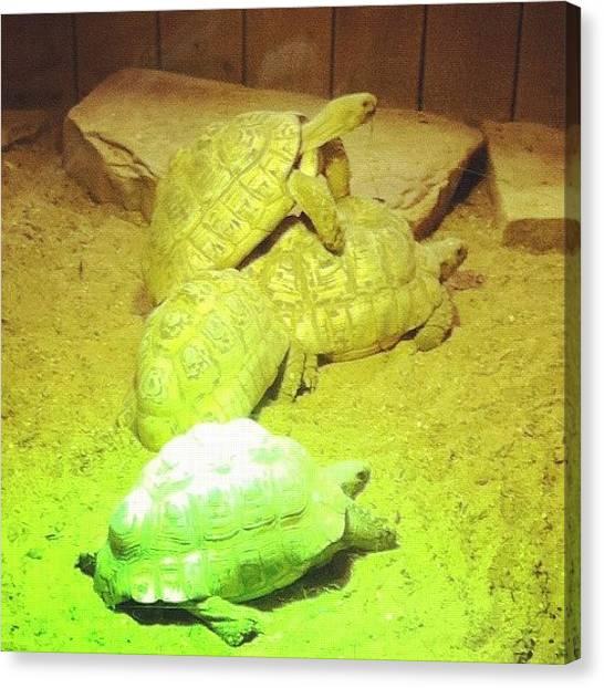 Tortoises Canvas Print - Tortoises by N R