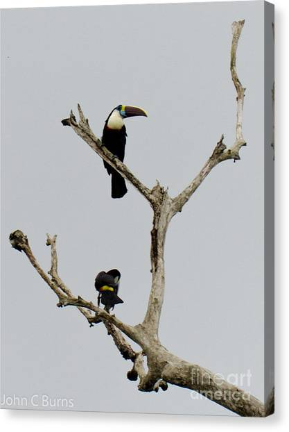 Toucans In The Trees Canvas Print