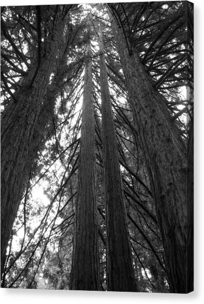 Towering Giants Canvas Print