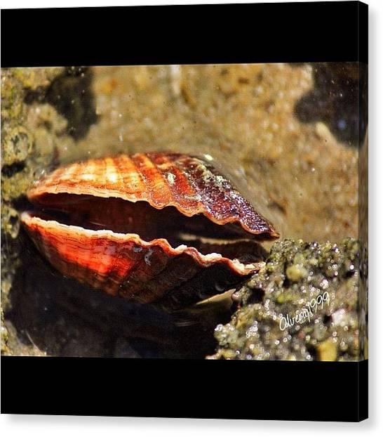 Seashells Canvas Print - Tratando De Encontrar Una Perla by Jorge Olvera