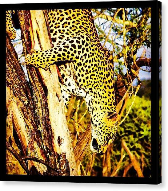 South African Canvas Print - Tree Climbing 101 by David Lamberti