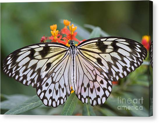 Tree Nymph Butterfly Canvas Print by Jacky Parker