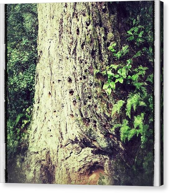 Woodpeckers Canvas Print - Tree With Woodpecker Holes #tree #holes by Danielle McNeil