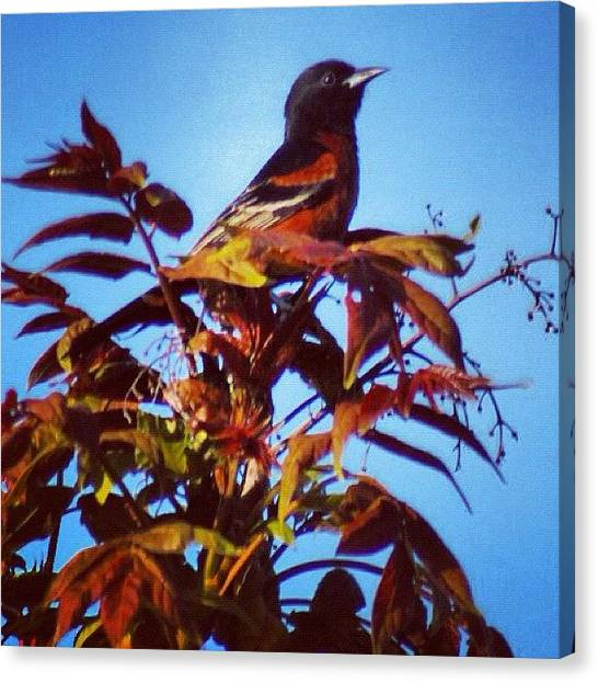 Orioles Canvas Print - Treetop Oriole #spring #oriole #bird by Lisa Thomas