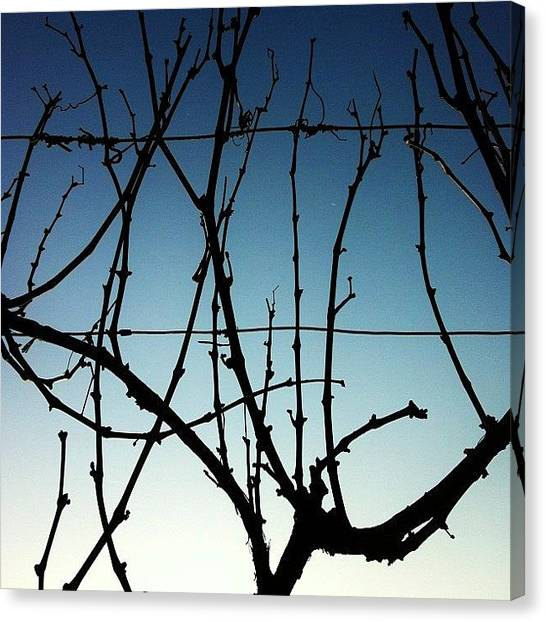 Vineyard Canvas Print - Trentuno Dicembre Duemilaundici. Vite by Massimiliano Fabrizi