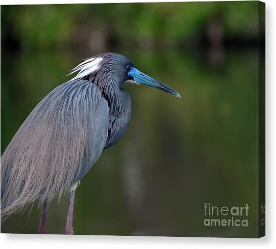Tricolored Heron Canvas Print