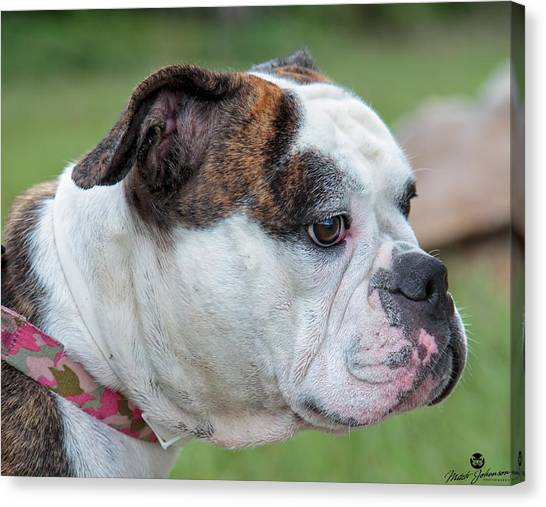 English Bull Dogs Canvas Print - Trixie On Lookout by Mitch Johanson