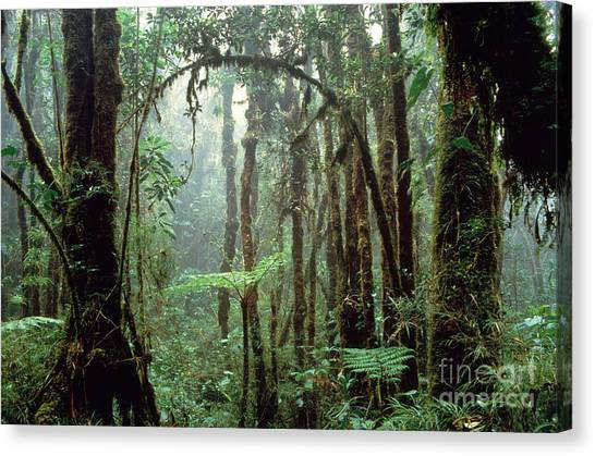 Costa Rican Canvas Print - Tropical Cloud Forest by Gregory G Dimijian