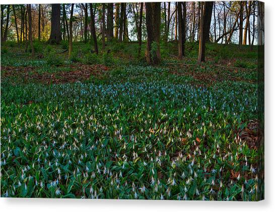 Trout Canvas Print - Trout Lilies On Forest Floor by Steve Gadomski