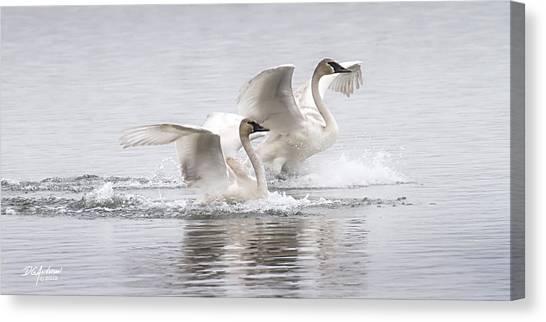 Trumpeter Swans Touchdown Canvas Print