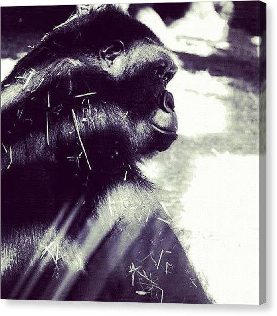 Gorillas Canvas Print - Trust In Nature by Shannon Evans