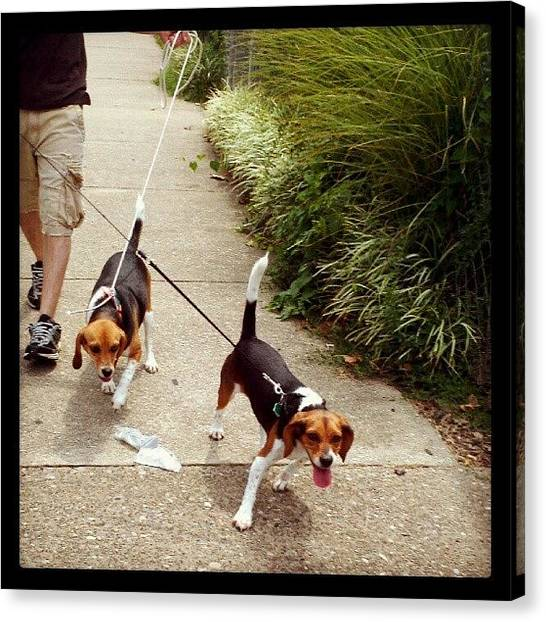 Beagles Canvas Print - #trying To #walk Two #beagles In The by Andi Bish
