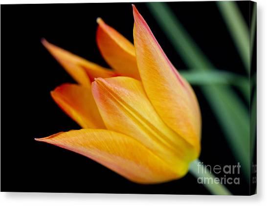 Tulip -2 Canvas Print