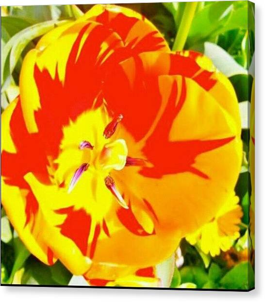 Tulips Canvas Print - #tulip #flower #yellowtulip #bright by Amber Torres
