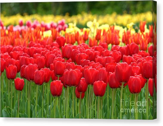 Tulip Garden Canvas Print by B S Karan