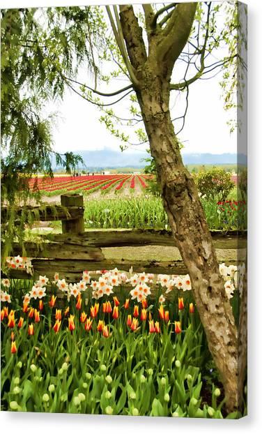 Tulip Time In The Skagit Valley Canvas Print by Beverly Hanson