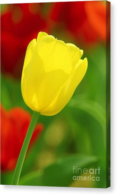 Tulipan Amarillo Canvas Print