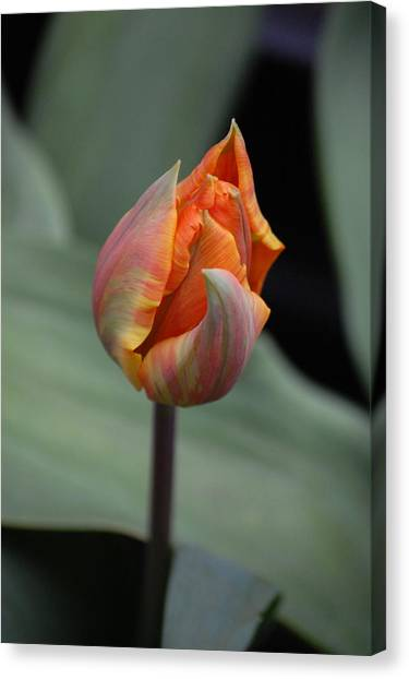 Tulips - Orange Canvas Print by Dickon Thompson