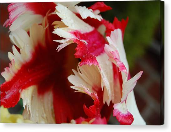 Tulips - Red And White Canvas Print by Dickon Thompson