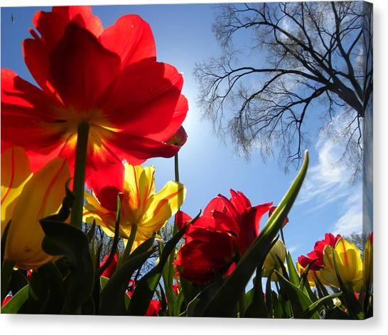 Tulips In Sunshine Canvas Print