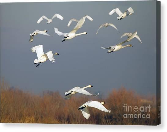 Tundras Canvas Print - Tundra Swan Takeoff by Mike  Dawson