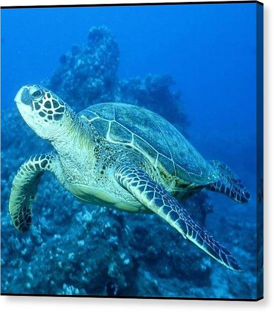 Sea Turtles Canvas Print - #turtle #oahu #paradise #ocean #waikiki by Andy Walters