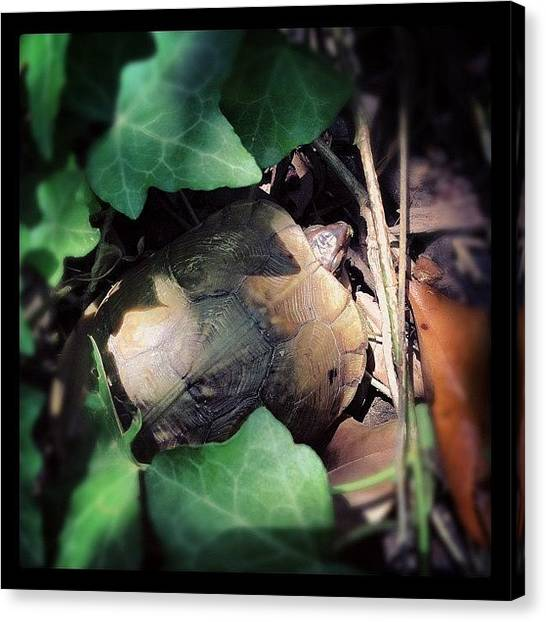 Tortoises Canvas Print - Turtle Peek-a-boo by Brooke Good