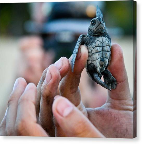 Turtle Release In San Pancho Canvas Print