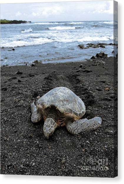 Turtle Tracks Canvas Print by David Taylor