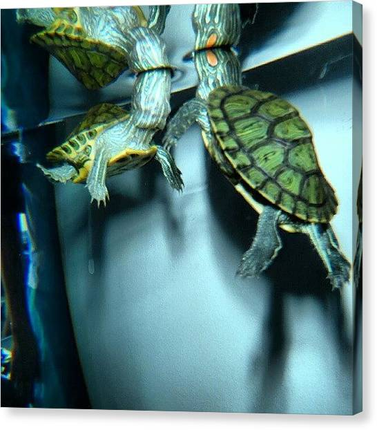 Turtles Canvas Print - #turtles #underwater #water #animals by Chris P