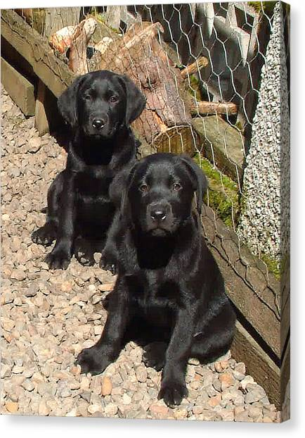 Twin Black Labrador Puppies Canvas Print