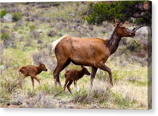 Twin Elk Calves Canvas Print