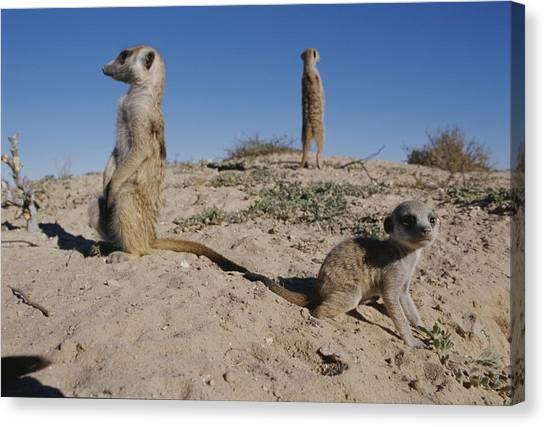Republic Of South Africa Canvas Print - Two Adult Meerkats Suricata Suricatta by Mattias Klum