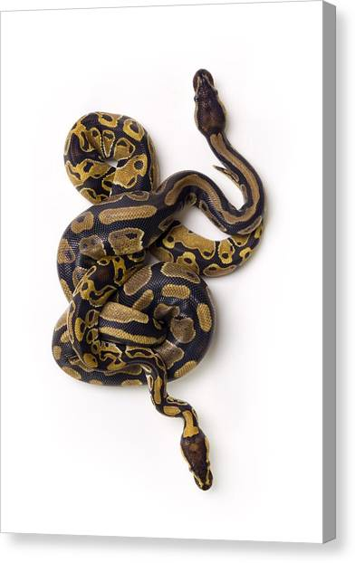 Ball Pythons Canvas Print - Two Ball Python Snakes Intertwined by Corey Hochachka