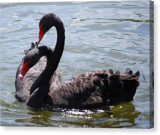Two Black Swans Canvas Print by Carrie Munoz