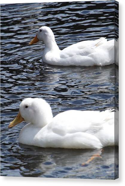 Two Ducks Canvas Print by Pamela Stanford