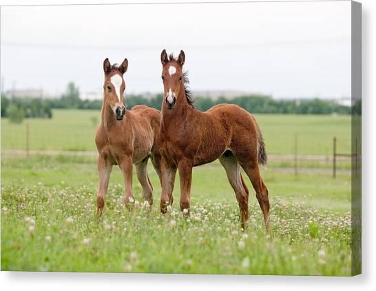 Two Foals Standing Canvas Print