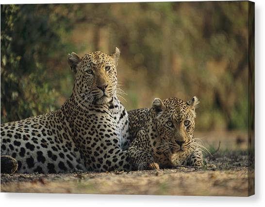 Republic Of South Africa Canvas Print - Two Full Grown Leopardspanthera Pardus by Kim Wolhuter