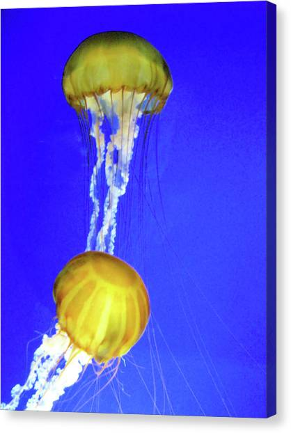 Two Gold Jellys Canvas Print