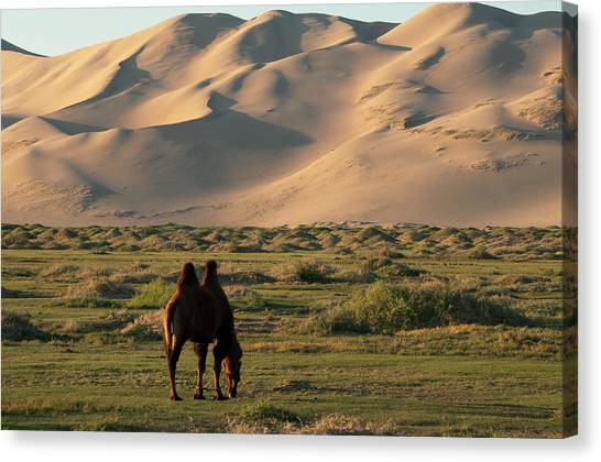 Gobi Desert Canvas Print - Two Humped Bactrian Camel In Gobi Desert by Dave Stamboulis Travel Photography
