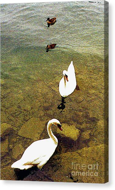 Two Pairs Of Swans And Ducks Canvas Print by Merton Allen