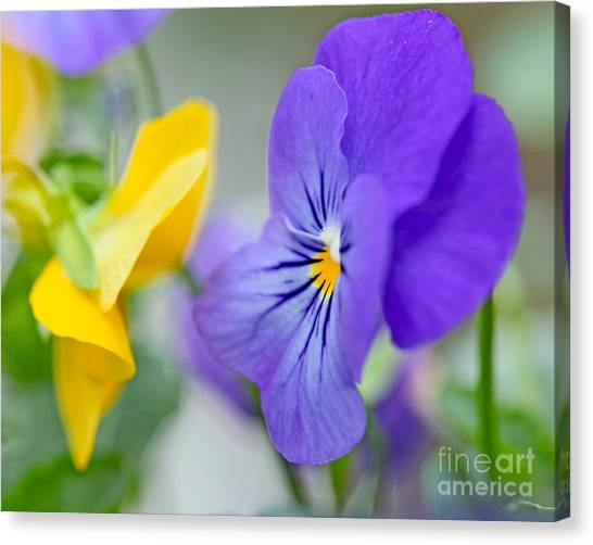 Two Pansies Ln Love Canvas Print