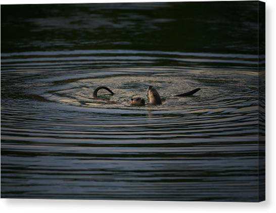 Teton National Forest Canvas Print - Two River Otters Play In The Water by Drew Rush