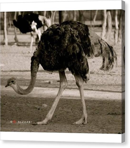 Ostriches Canvas Print - #uae #rak #ostrich #nature  #instagood by Omar Alzaabi