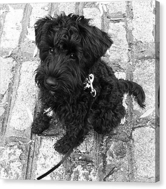 Schnauzers Canvas Print - Uh Oh #ozzie Has Spotted The Ducks!! by Laurena Pascoe