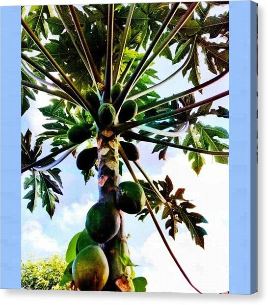 Fruit Trees Canvas Print - Under A #papaya #tree #waiting For Some by Debi Tenney