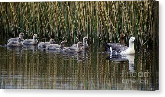 Upland Geese - Patagonia Canvas Print by Craig Lovell